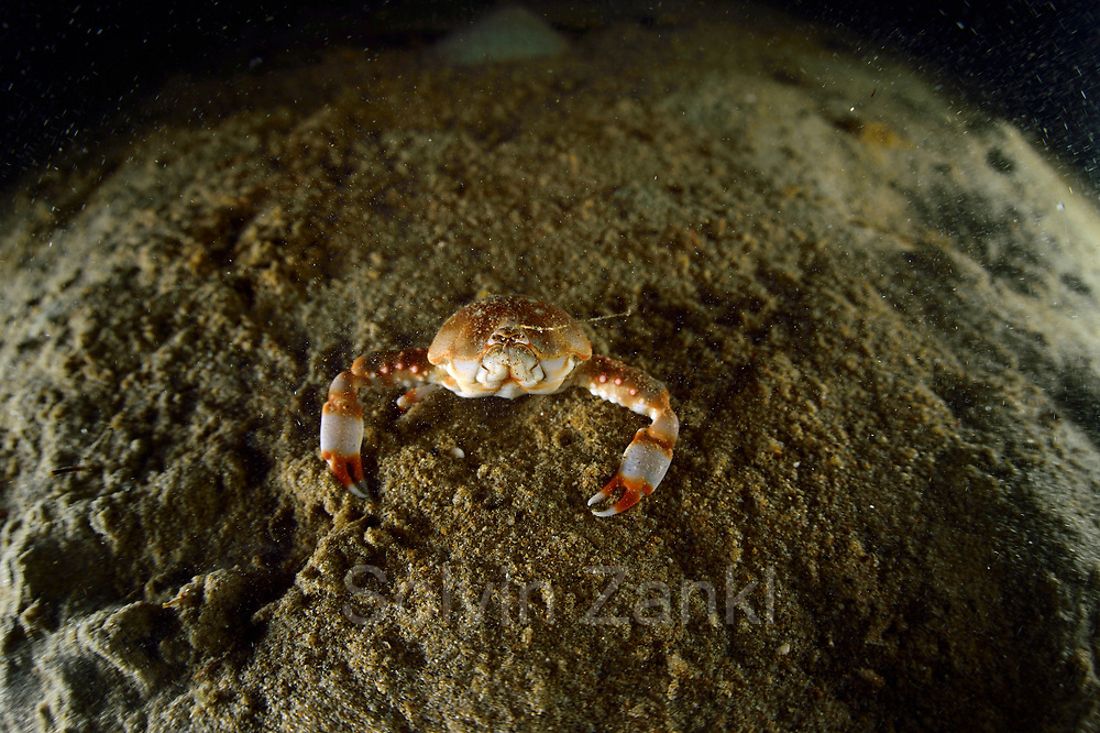 Horn Naga fist crab Toyama Bay, Namerikawa, Japan   Toyama-Bucht, Namerikawa, Japan