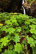 Wild Geranium by the river