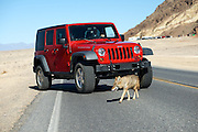 A coyote crosses in front of a Jeep in Death Valley National Park on Oct. 24, 2012.