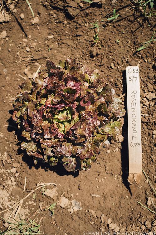 Rosencrantz, Frank Morton, Wild Garden Seed Lettuce