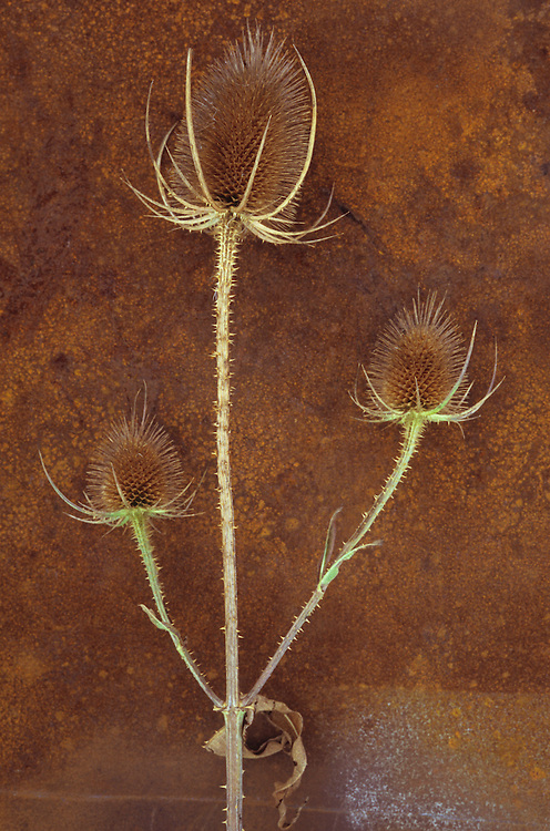 Stem of ripe Teasel or Dipsacus fullonum with three prickly brown seedheads on rusty metal sheet