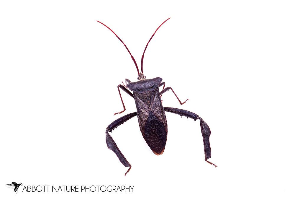 Leaf-footed Bug (Acanthocephala declivis)<br /> TEXAS: Jasper Co.<br /> Brookeland/Lake Sam Rayburn KOA @ 505 Co Rd 212<br /> 31.141606, -93.994174<br /> 14.Apr.2015<br /> J.C. Abbott #2722 &amp; K.K. Abbott