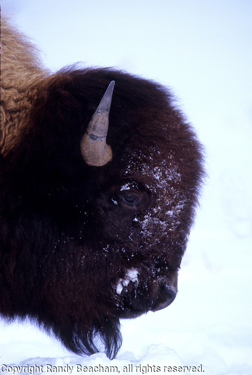 Bison portrait. Yellowstone National Park, Wyoming.