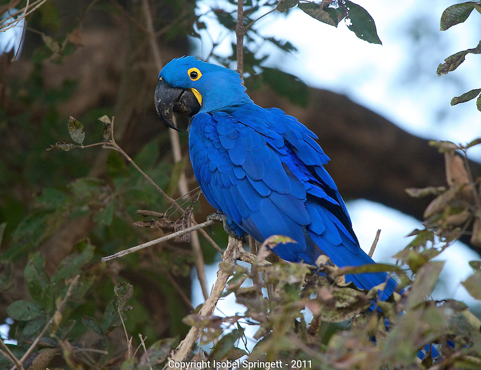 Hyacinth Macaw. (Anodorhynchus hyacinthinus), Courtenay, Matto Grosso, Brazil, Isobel Springett