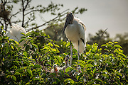 A wood stork (Mycteria americana) with chicks at the nest. Wakodahatchee wetlands, Florida.