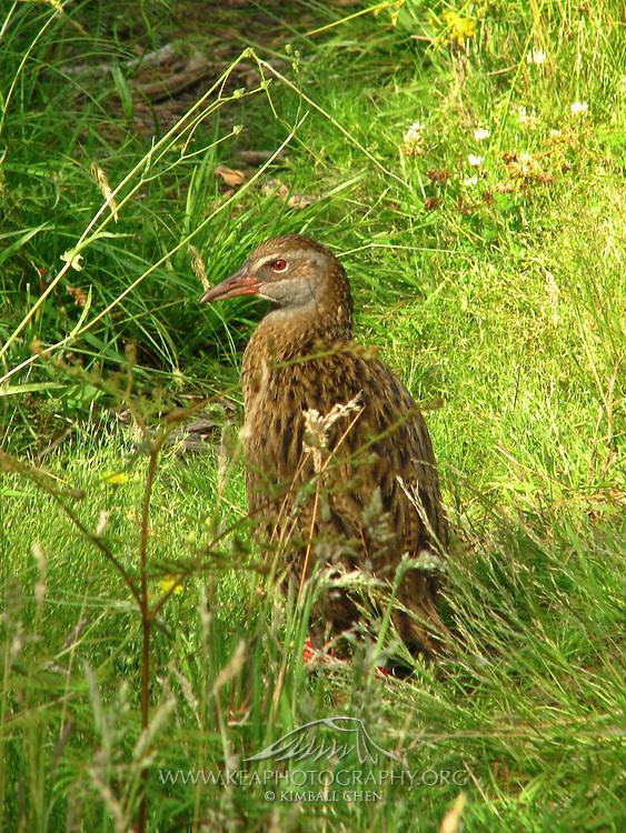 Western Weka, Pigeon Island, New Zealand