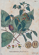 Theobroma Engraving, hand-colored print of plants and butterflies from Plantae et papiliones rariores (rare plants and butterflies) by Ehret, Georg Dionysius, 1708-1770 Published in London in 1748