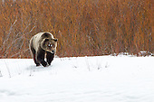 Bears in and around the Greater Yellowstone Eco System