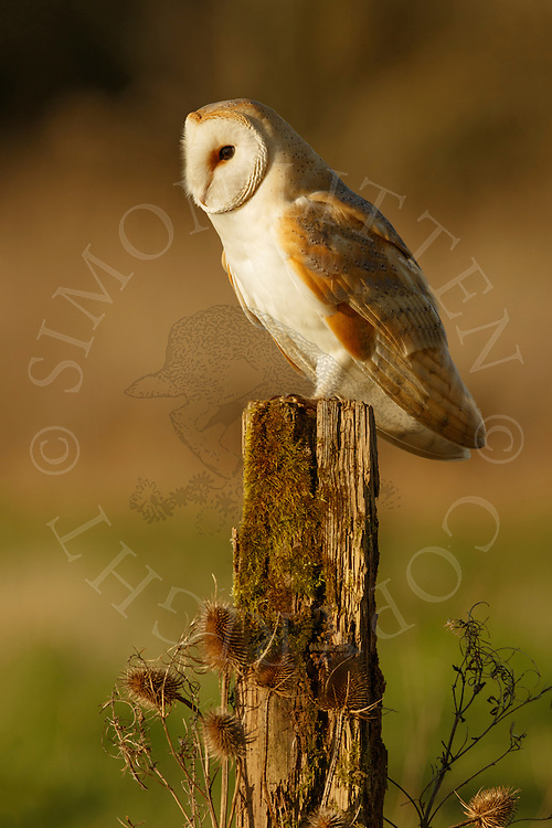 Barn Owl (Tyto Alba) adult perched on post, Norfolk, UK.