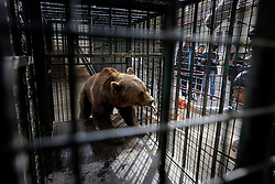 ROMANIA ONESTI 28OCT12 - A Eurasian  brown bear is coaxed into a transport cage with tasty food at the Onesti zoo.....The bear was rescued from the decrepit Onesti Zoo where it lived for 8 years in degrading conditions and will be transported to the Zarnesti bear sanctuary.....jre/Photo by Jiri Rezac / WSPA......© Jiri Rezac 2012