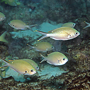 Brown Chromis inhabit reefs and adjacet rubble areas feel in open water above in Tropical West Atlantic; picture taken St Vincent.