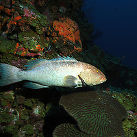 Grouper at cleaning station on a deep sea pinnacle