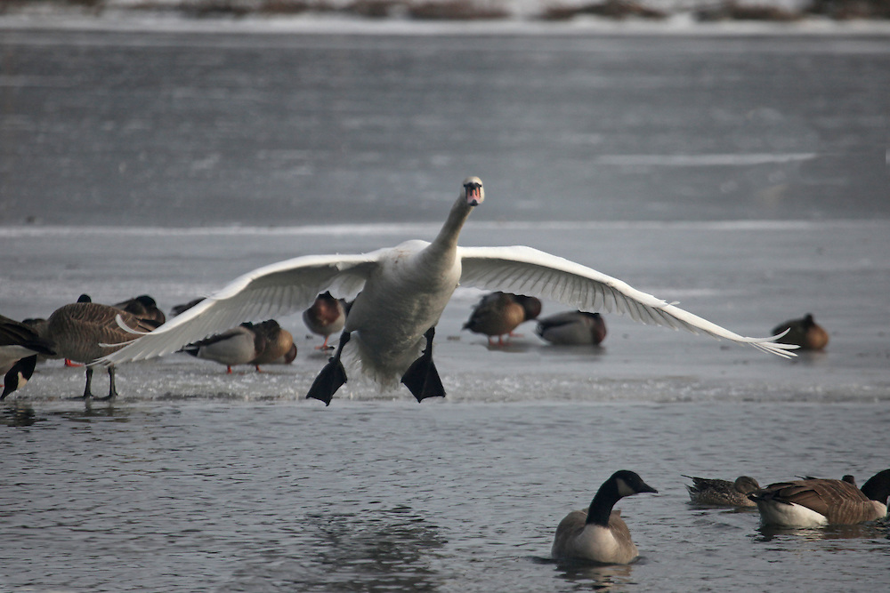 Second of three  of a swan landing on some open water on the semi-frozen Prospect Park Lake.