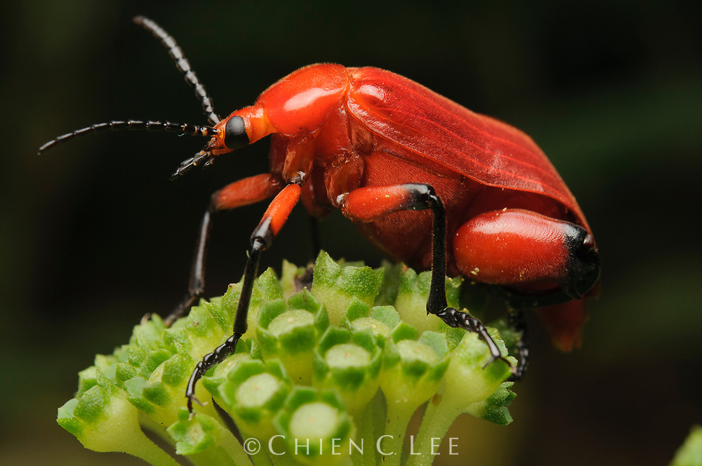 Blister beetle (Horia debyi). The larvae of blister beetles of the genus Horia prey on the larvae of Xylocarpa carpenter bees. This is an adult male, evidenced by the enlarged hind femora. Sarawak, Malaysia.