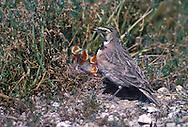 Horned Lark - Eremophila alpestris - female