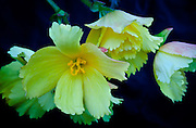 These begonias appeared like bits of light shining in the dark. I found them at the botanical gardens in Fort Bragg.