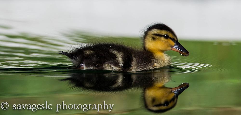 Mallard duckling in the pond. Salt Lake Valley, Utah June 2013