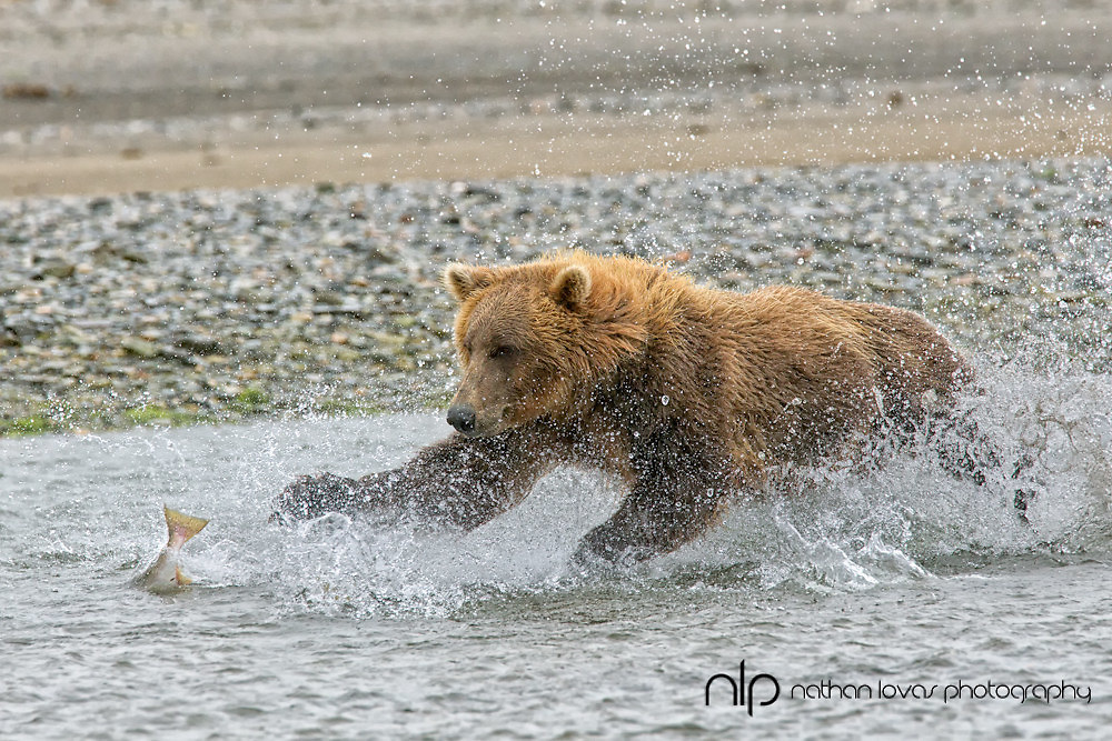 Coastal brown bear chasing salmon in river;  Katmai NP, Alaska in wild.