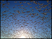 Snow geese taking flight at Bosque del Apache National Wildlife Refuge, New Mexico.