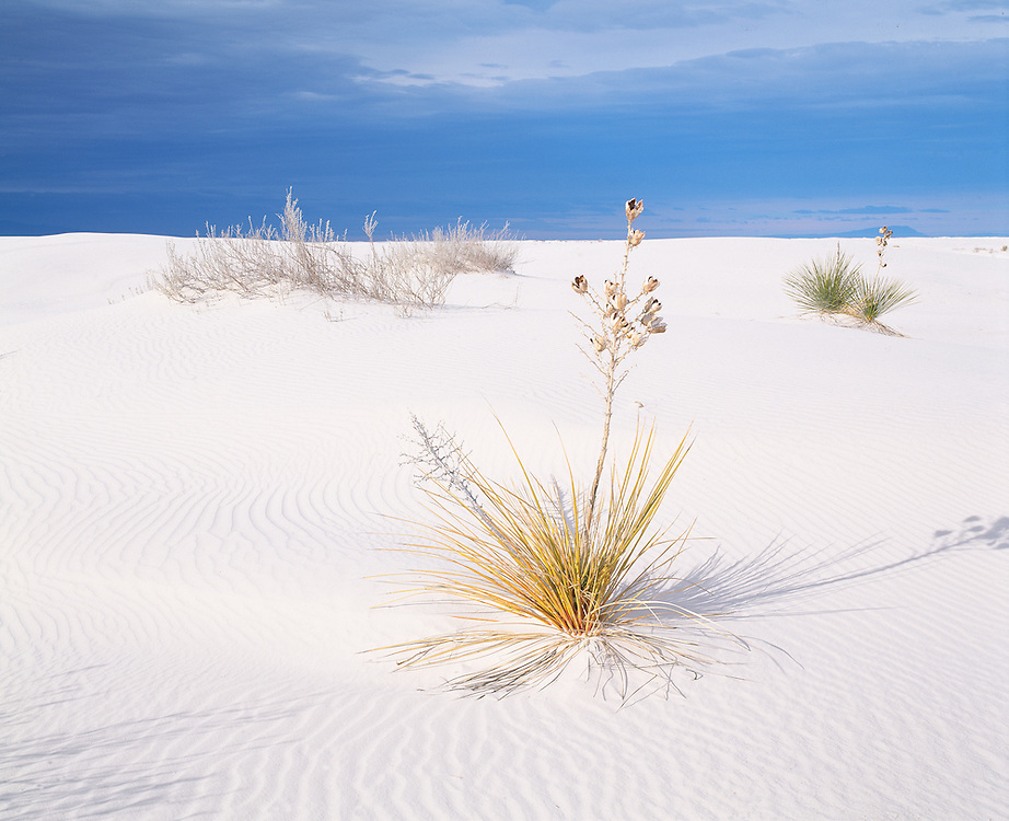 dramatic morning light on solitary yucca plant in dunes, White Sands National Monument, NM