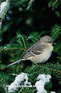 01395-02014 Northern Mockingbird (Mimus polyglottos) in fir tree in winter Marion Co.  IL