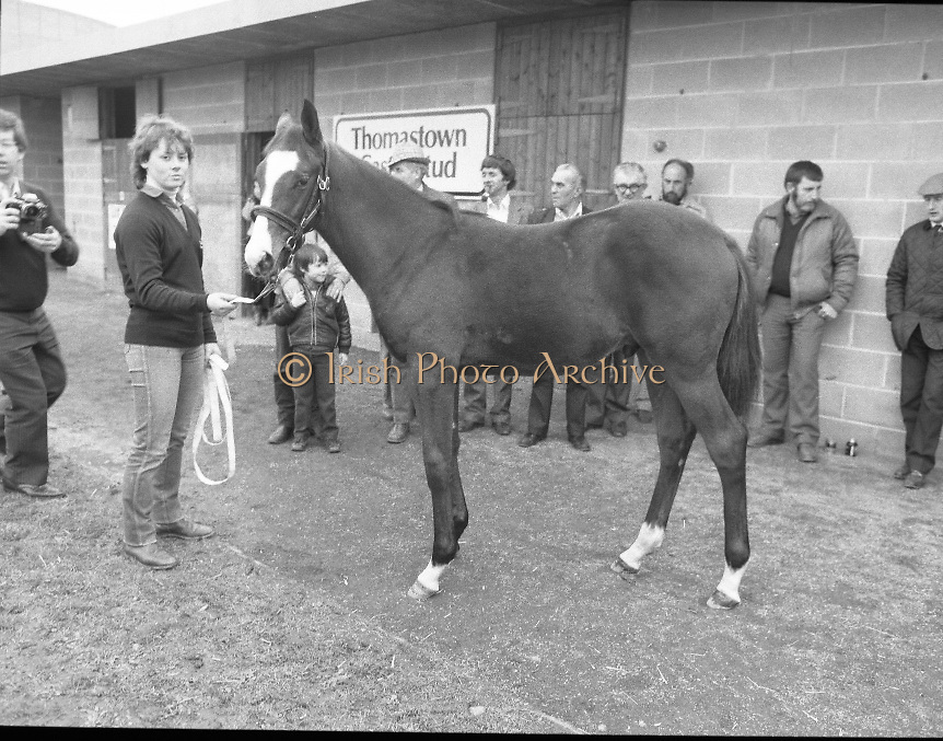 "Shergar Foal Sale.1983.20.11.1983.11.20.1983.20th November 1983..An,as yet,un-named foal  sired by the famous Shergar was on view for the first time today. The viewing was prior to the auction to be held at Goffs Sales,Kildare..Image of Ms Yvonne Morrissey,Thomastown Stud, as she prepares the colt for departure to the sales rooms..Note; On the 8th February 1983,""Shergar"",was kidnapped from the Ballymany Stud,Curragh, Co,Kildare. the IRA were the alleged kidnappers. Shergar had been syndicated for £10million by the Aga Khan,his owner. Shergar had won the Epsom Derby by a record 10 lengths. The purported ransom was £2million. Despite a large investigation the horse had dissappeared and no trace of him was ever found. The story has been the subject of much controversy and has be much covered in books and film"