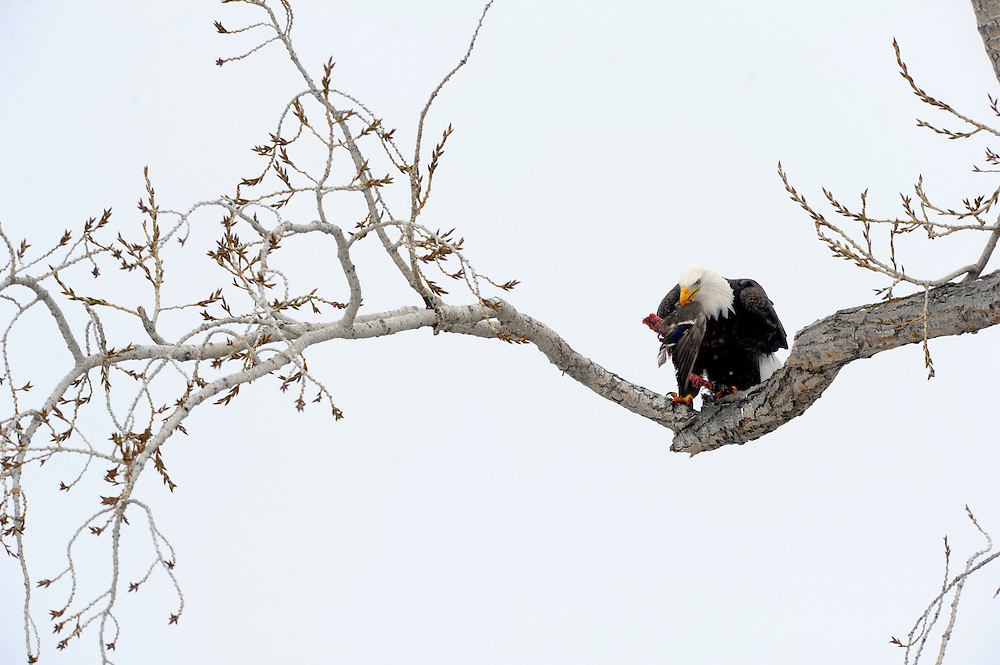 A Bald Eagle feeds on a duck.