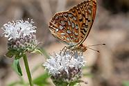 Speyeria e. egleis - Great Basin Fritillary