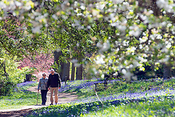 © Licensed to London News Pictures. 15/04/2014. Guildford, UK. A couple walk amongst the bluebells. People enjoy the afternoon  sunshine at Winkworth Arboretum in Surrey today 15th April 2014. Photo credit : Stephen Simpson/LNP