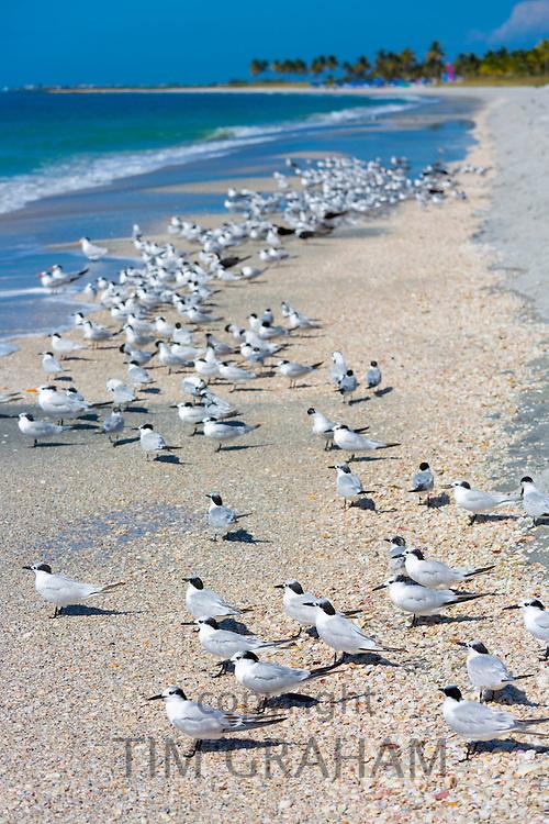 Royal Terns, Thalasseus maximus, flocking on beach at Captiva Island, Florida, USA