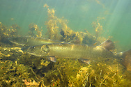 Muskellunge (spawning pair)<br />