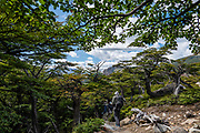 "Forested trail to Laguna Torre. El Chalten, Argentina, Patagonia, South America. We hiked 21 km (13 miles) round trip with 730 m (2400 ft) cumulative gain to Laguna Torre and Mirador Maestri to see Cerro Torre and other peaks. El Chalten mountain resort is in Santa Cruz Province, Argentina, Patagonia, South America. The village is settled on the riverside of Rio de las Vueltas, within Los Glaciares National Park near the base of Cerro Fitz Roy (3405 m or 11,171 ft elevation), at the edge of the Southern Patagonian Ice Field. The town is 220 km north of El Calafate. Chaltén comes from a Tehuelche word meaning ""smoking mountain"", due to clouds that usually form over Monte Fitz Roy. Los Glaciares National Park and Reserve are honored on UNESCO's World Heritage List."