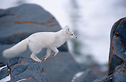 Arctic fox ( Vulpes lagopus ) leaping from rocks  on tundra of Hudson Bay Lowlands <br />