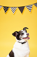 Dark brown and white Smooth coat mixed breed terrier on yellow seamless with black and white banner.<br /> Photographed at Photoville Photo Booth September 20, 2015