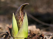 Chester, New York - A skunk cabbage plant grows among dead leaves on the forest floor on the first day of spring in Goosepond Mountain State Park, on March 20, 2010.