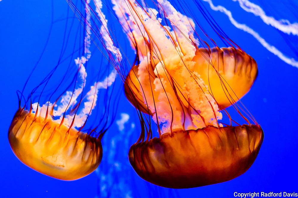 Jellyfish, Monterey Bay Aquarium, California