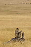 Cheeta family looks out for prey from a termite mond.