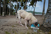 A stray dog eats food left for him by Chrissy Beckles and Yvette Fernandez at Guayanes Beach, Puerto Rico.