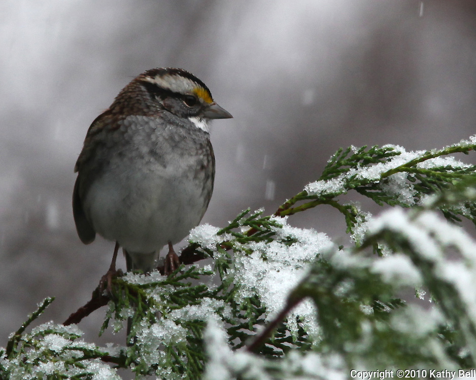 Image of a white throated sparrow on a snow covered branch.