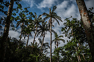 A grove of the rare Yaeyama palm, only indigenous to Ishigaki and Iriomote Islands in southern Okinawa.  The Japanese Archipelago is peppered with rare micro-climates extremely vulnerable to climate change.  The grove is located in a sheltered hollow protected from typhoons by a mountain but, as climate change warms the seas that fuel stronger, more dangerous typhoons, the likelihood of this isolated species of palm, and many more endangered species of flora and fauna, surviving is even more tenuous.  Ishigaki, Okinawa Prefecture, Japan