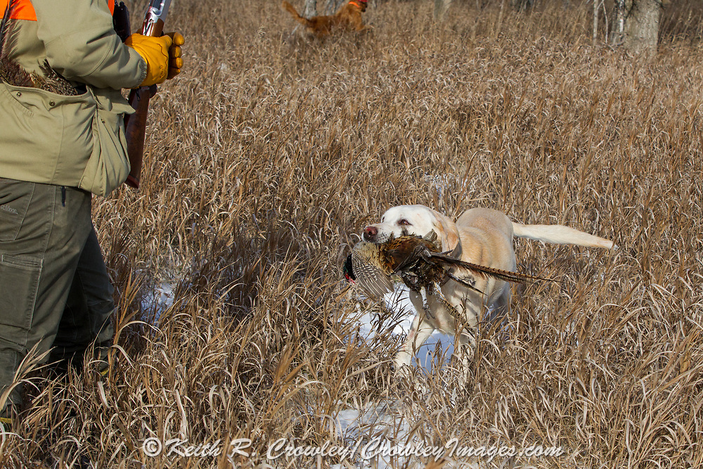 Moose the Yellow Lab retrieves a rooster for his owner during a late-season  South Dakota pheasant hunt.
