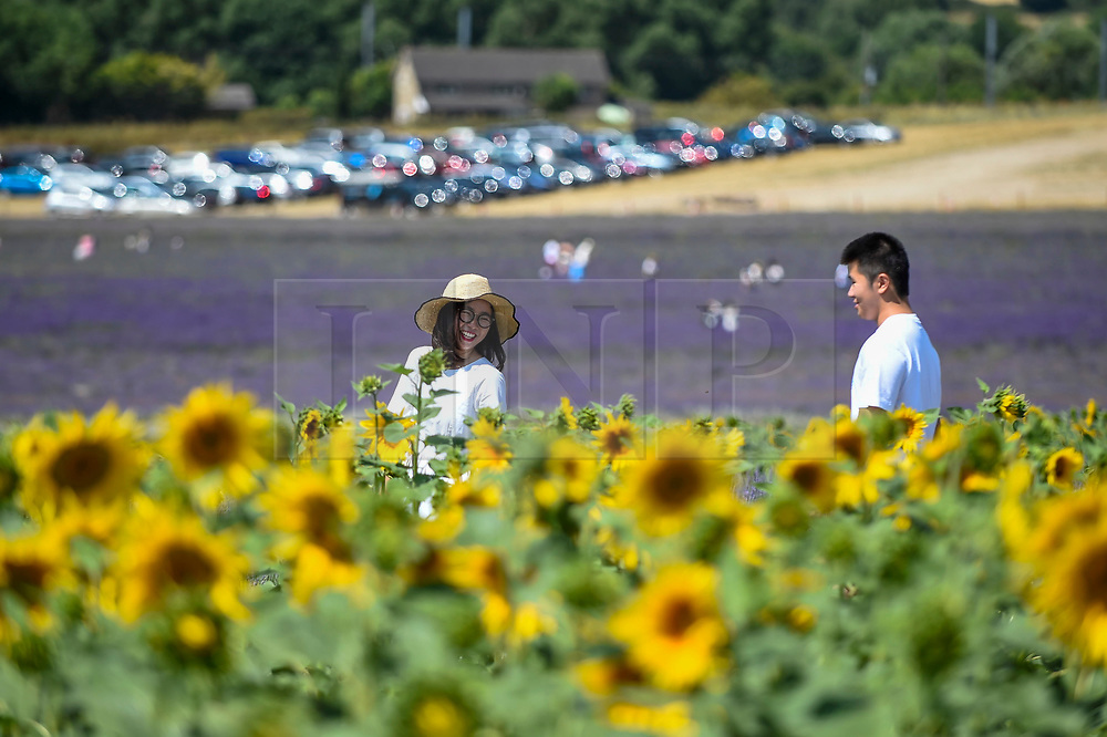 © Licensed to London News Pictures. 24/07/2018. ICKLEFORD, UK.  Visitors to Hitchin Lavender farm walk amongst sunflowers during the continuing heatwave.  Currently in full bloom, the lavender and colourful sunflowers attract visitors from far and wide to this popular family run farm. Photo credit: Stephen Chung/LNP