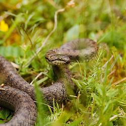 Slangen, snakes