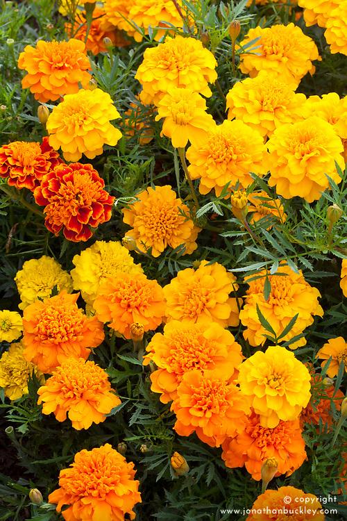 Tagetes patula 'Bonanza'. Marigold
