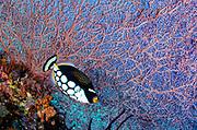 Clown triggerfish (Balistoides conspicillum)<br /> Raja Ampat<br /> West Papua<br /> Indonesia
