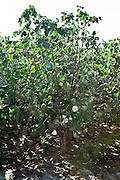 27 September 2011-Cotton Harvest in Marion, Arkansas photographed for FMC.