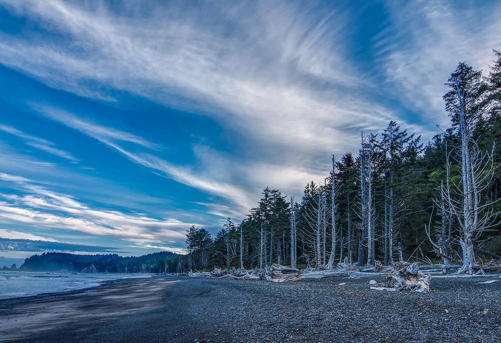 Very early on a chilly fall morning, just before sunrise on the Olympic Peninsula's Rialto Beach on Washington's Pacific Coast. Stands of dead sitka spruce trees line the shore (standing and fallen or washed ashore) on one of North America's most spectacular remote beaches.