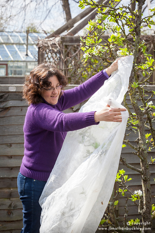 Covering pear blossom with horticultural fleece to protect from late frosts