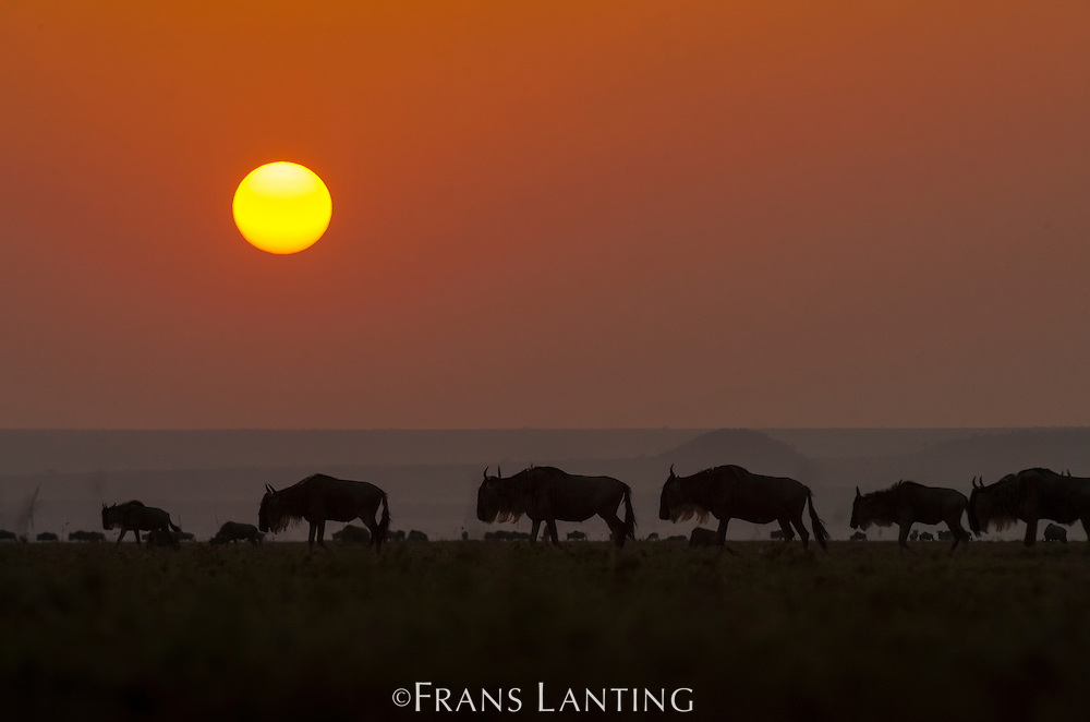 Wildebeest migrating at sunrise, Connochaetes taurinus, Masai Mara National Reserve, Kenya