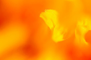 macro image of an orange flower petal that explodes as a field of colour